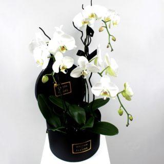 Белые орхидеи Maison des Fleurs